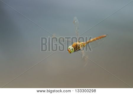 green-eyed dragonfly flying in the sky like a helicopter
