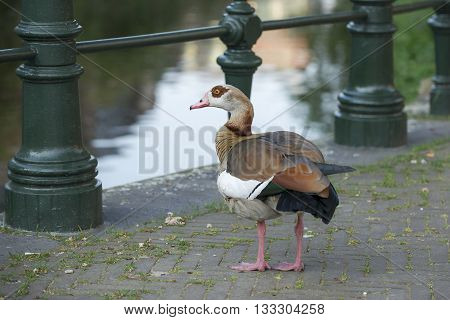 Egyptian Goose (Alopochen aegyptiacus) standing on a Bridge over the Kortenaerkade in the Hague Den Haag the Netherlands