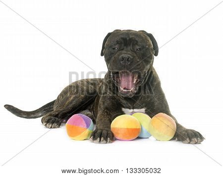 bull mastiff in front of white background poster