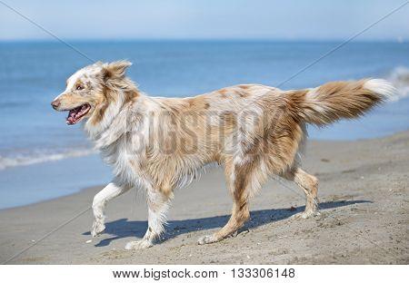 australian shepherd running on a beach a day of spring