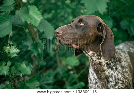 German pointer dog portrait. Hunting dog posing outdoor.
