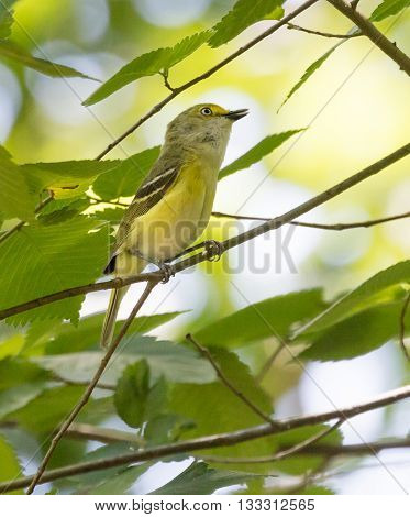 White-eyed Vireo (Vireo griseus) singing from a branch