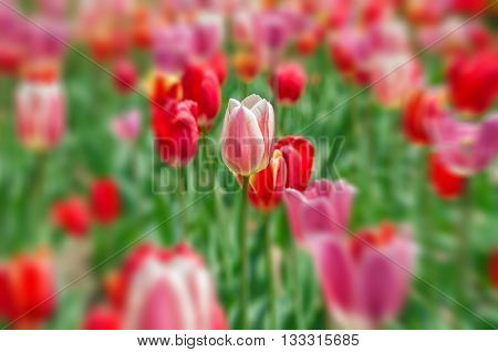 Image of an isolated tulip in a field of tulips
