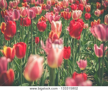 Image of a beautiful field of wild tulips