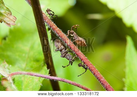 Coreus marginatus with the cubs insect on a branch raspberry