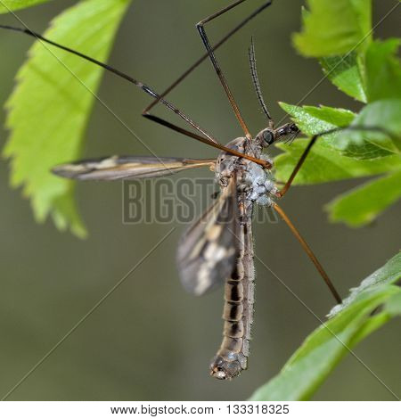 Tipula vittata crane fly. Cranefly in the family Tipulidae showing long ungainly legs