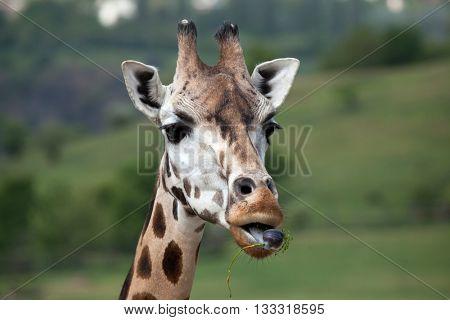 Rothschild's giraffe (Giraffa camelopardalis rothschildi). Wildlife animal.