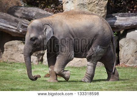 Young Indian elephant (Elephas maximus indicus). Wildlife animal.