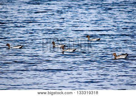 Five Australian wood ducks swimming in Lake Jindabyne's gentle water
