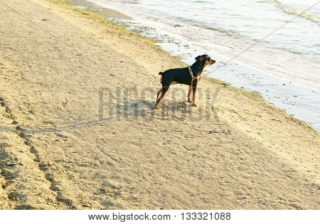 Miniature Pincher or Min Pin wearing harness standing on sandy beach near the sea and waiting