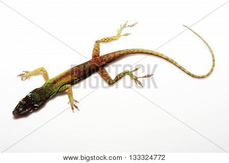 Bright multi-hued lizard that is green, yellow and red