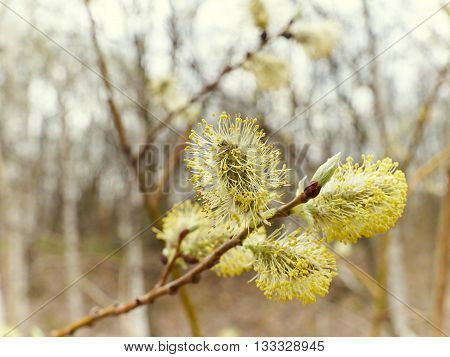 Pussy-willow Branches  In Spring Nature