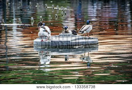 Mallard ducks - Anas platyrhynchos - resting on an islet in the middle of the lake. Bird scene. Beauty in nature. Animal theme. Reflections in water. Group of drakes.