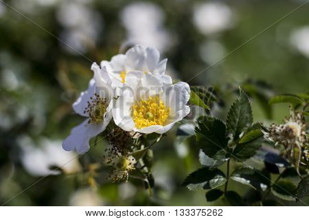 white flowers of a dogrose at the end of spring