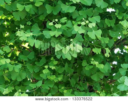 Early spring ginkgo biloba leaves, in light and dark green tone. Ginkgo biloba, also known as ginkgo or as the maidenhair tree.