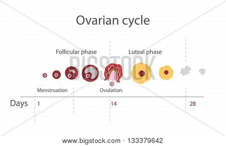 The menstrual cycle showing changes hormones endometrial basal body temperature. Infographics. Vector