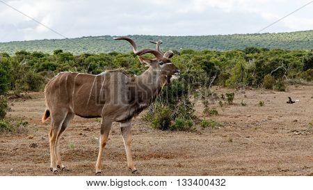 Good Grass - Greater Kudu - Tragelaphus Strepsiceros