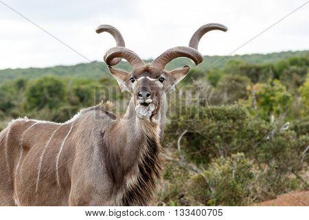 Foam - Greater Kudu - Tragelaphus Strepsiceros