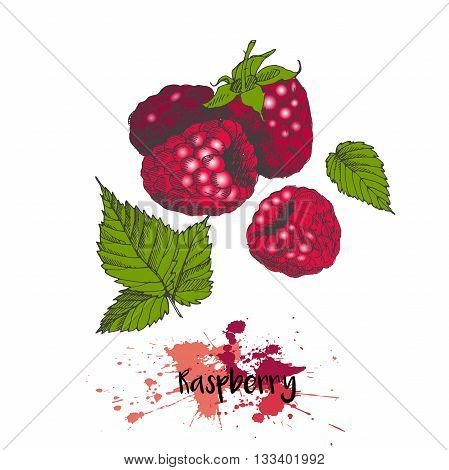 Vector illustration of raspberry. Isolated on white background. Color summer fresh vegetarian fresh fruit. Hand drawn engraving art. For cocktail smoothie desserts and salsds.