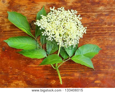 The Elder or Elderberry (Sambucus nigra).The flowers and berries are used most often medicinally against flu and fever, angina, etc. Flower on wooden plate.