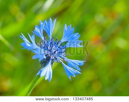 Wild blue cornflower, or Centaurea cyanus, on green bokeh natural background. Shallow depth of field.