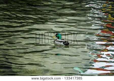 Duck float in water with abstract wave Reflect water and small duck bird