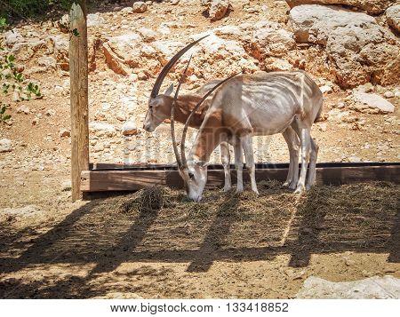 JERUSALEM, ISRAEL - MAY 8: Scimitar oryx or Sahara oryx in Biblical Zoo in Jerusalem, Israel on May 8, 2016