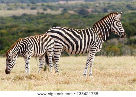 Which Side - Burchell's Zebra