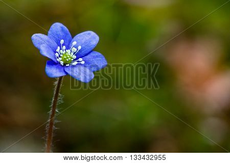 Single blue anemone flower in spring forest