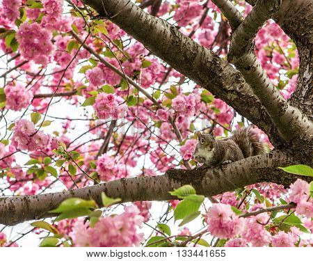 little Squirrel on pink flowers blossom branch