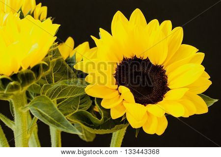 Beautiful sunflowers on a black background close up