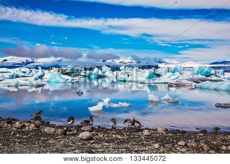 Beautiful summer morning in the icy ocean lagoon with floating ice. On the coastal edge feeds flock of birds - breasted Goose Branta leucopsis