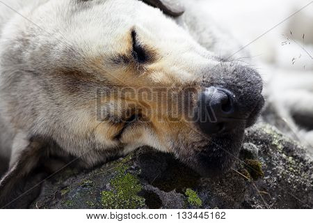 Homeless dog sleeps on stone for pillow. Close up view.
