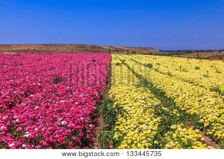 Endless fields of purple and yellow flowers. Spring on a farm on cultivation of buttercups garden