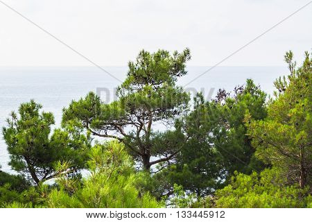 Sea view from the shore through the pines