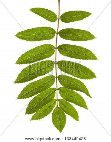 Green Rowan tree leaf on white background