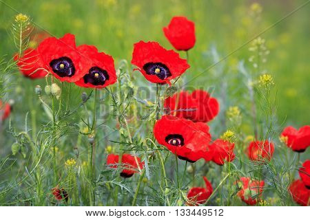 Poppy Field With Mountain, Kazakhstan, Central Asia