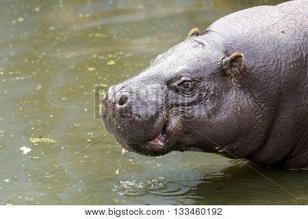 Pygmy Hippopotamus In Water