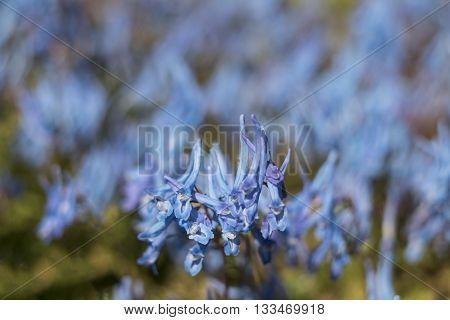 Beautiful China Blue or Corydalis Flexuosa flowers against blurred blue background