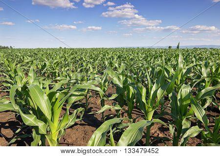 Green corn field,blue sky and sun on summer day. Green corn field, Young green corn in field, selective focus