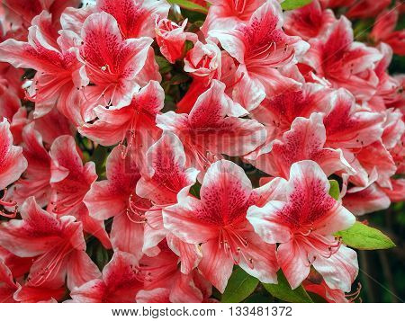 Pink and white Azalea in bloom in spring