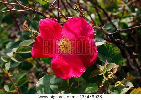 Scarlet Fire'. A handsome shrub bearing an abundance of large (Shrub Rose)Summer Flowering