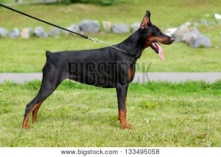 the dog is a Doberman Pinscher stands in the park