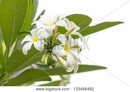 Close Up Lan Thom Flower