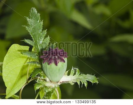 Field or Corn Poppy Papaver Rhoeas capsule after bloom macro selective focus shallow DOF