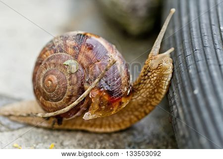Large Grape Snail Overcomes Obstacles