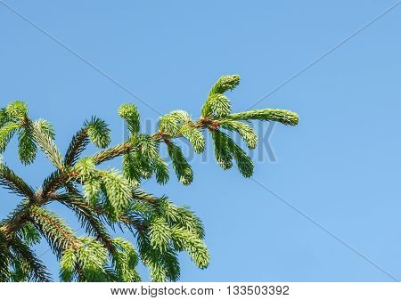 Evergreen Fir-tree Branch
