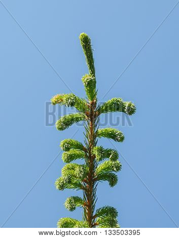 Fir-tree Top