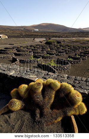 Cactus  Home Viticulture  Winery Lanzarote