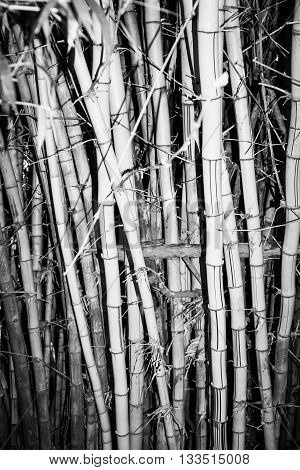 Bamboo growing in clump in monochrome with vignette